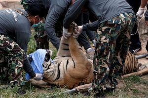 Thái Lan chạy đua với thời gian để cứu hàng chục con hổ đang nguy kịch
