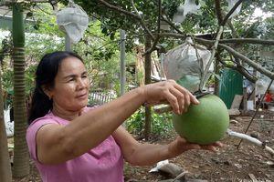 Thời tiết bất lợi, bưởi hồng Quang Tiến (Nghệ An) giảm khoảng 50% sản lượng