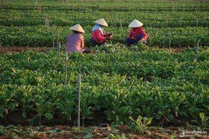 Bức tranh lao động bình dị trên cánh đồng cải củ mướt xanh