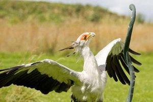 Loài chim lạ có cú đá có thể gây chết người