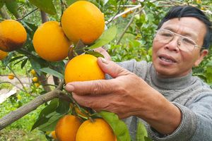 Mang lại hiệu quả kép, phân bón Văn Điển 'cứu nguy' cho cây cam Nghệ An, Hà Tĩnh