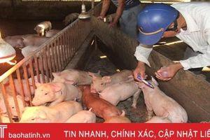 Dịch tả lợn châu Phi 'bủa vây', tiêm phòng gia súc ở Hà Tĩnh gặp khó
