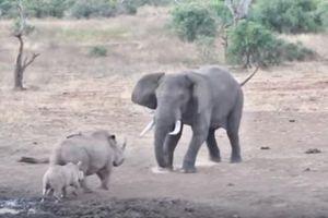 Tê giác mẹ kịch chiến với voi để bảo vệ con