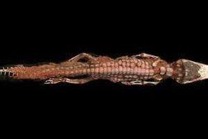 Cá sấu bị ướp xác với con mồi còn trong bụng để tế thần