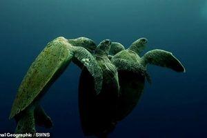 Đang giao phối, rùa cái suýt chết vì chuyện kì lạ