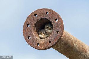 Ảnh động vật ấn tượng: Cú non nép mình trong ống nước