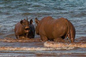 Tê giác kịch chiến dưới nước giành quyền thống trị