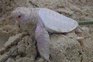 Hình ảnh đắt giá về loài rùa trắng quý hiếm