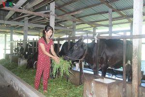Giá bò hơi trong nước tăng cao