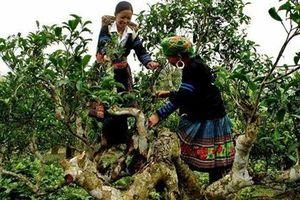 Yên Bái: Quần thể chè Shan tuyết cổ thụ Sùng Đô được công nhận Cây Di sản Việt Nam