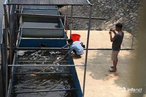Đi tìm sự thật về hiện tượng cá Koi chết trên sông Tô Lịch