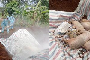 TX Thái Hòa lần đầu tiên xuất hiện ổ dịch tả lợn châu Phi