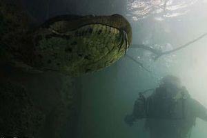 CLIP: 'Kinh hoàng' thợ lặn chạm mặt trăn khổng lồ nặng gần 1 tạ dưới nước