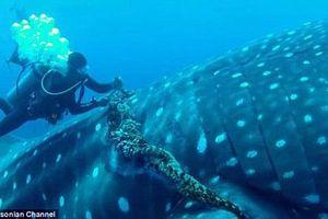 Thót tim xem thợ lặn giải cứu cá mập voi