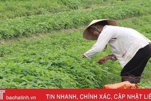 Ươm mùa xanh trên những làng rau Hà Tĩnh
