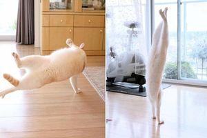 'Vũ công' mèo trắng khoe tài nhảy múa, 'fan' đổ 'rần rần'