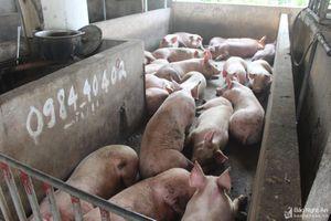 Bị phạt 5 triệu đồng vì vận chuyển 31 con lợn không rõ nguồn gốc