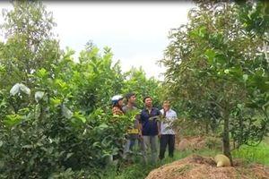 CLIP: Chuyển đổi cây trồng, nông dân làm giàu trên đất lúa