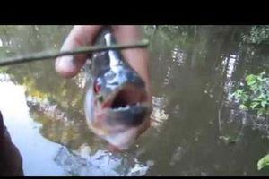 CLIP: Những loài cá ăn thịt người đáng sợ nhất trên thế giới