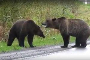 Cãi nhau dữ dội, gấu nâu khổng lồ kịch chiến giữa đường