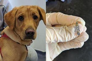 Nuốt nhẫn đính hôn của chủ, chú chó buộc phải tới bác sĩ để lấy ra nhưng phát hiện này còn sốc hơn