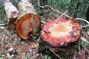 Kon Tum: Rừng Kon Plông tiếp tục bị phá