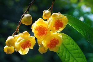 Thu lợi từ cây trà hoa vàng