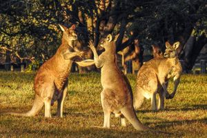 Australia truy lùng 'xe điên' tông chết 20 kangaroo trong một đêm