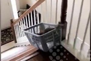 Bật cười khi chú mèo lười không muốn đi bộ xuống cầu thang