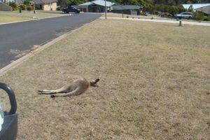 Người dân Úc bàng hoàng phát hiện xác kangaroo la liệt trước nhà