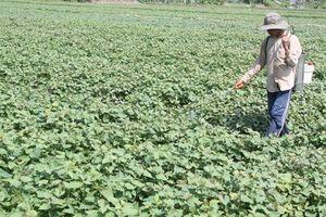 Trồng khoai lang ở Vĩnh Long: 1ha 'gánh' 200kg thuốc bảo vệ thực vật