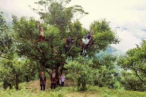 Hà Giang: Đẩy mạnh công tác bảo tồn và khai thác giá trị chè Shan tuyết cổ thụ