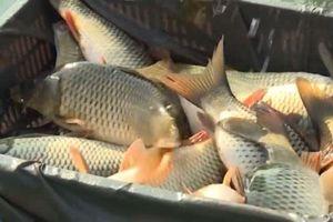 Hải Dương: Đút túi 1 tỷ đồng/năm nhờ nuôi cá theo công nghệ Thái Lan
