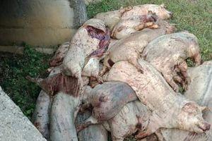 Hàng chục xác lợn chết vứt ven đường BOT Thái Nguyên - Chợ Mới