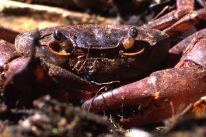 Đàn kiến do thám, phối hợp ăn thịt cua trong rừng