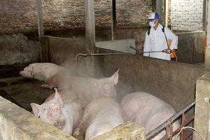 Nghệ An: Nhiều trại chăn nuôi bị xóa sổ đàn lợn do nhiễm dịch tả Châu phi
