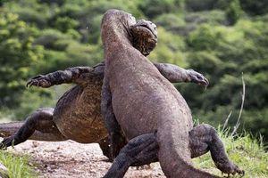 Rùng mình trận chiến hoàng gia của rồng Komodo
