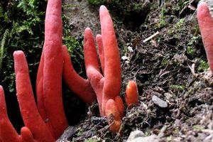 Loài nấm chết chóc nhất châu Á vừa bất ngờ xuất hiện ở Australia