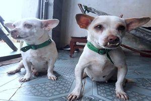 Cà Mau siết chặt quản lý chó để phòng bệnh dại