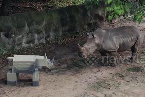 Tê giác dũng mãnh bỏ chạy thục mạng khi gặp tê giác 'giả'