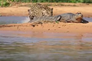 Báo đốm lội nước tóm gọn cá sấu Nam Mỹ
