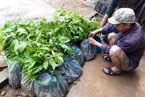 'Đội giá' 1,2 tỷ đồng giống cây phát cho người nghèo, nhiều cán bộ bị kiểm điểm