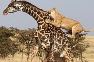 Sư tử đói ranh mãnh, mẹ con hươu cao cổ chia lìa