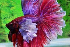 Loài cá duy nhất trên thế giới có thể 'biến hình' siêu đẹp
