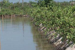Nam Định: Lãi 900 triệu đồng/năm nhờ mô hình nuôi cá chạch trong ao đất