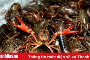 Tiếp tục tăng cường công tác quản lý, kiểm soát tôm hùm nước ngọt và tôm càng đỏ trên địa bàn tỉnh Thanh Hóa