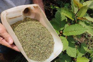 'Heroin thảo dược' - sinh kế mới của nông dân Indonesia
