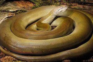 Loài trăn khổng lồ, đổi màu cơ thể khi bị kích động