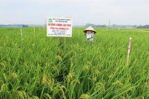 Giống lúa Japonica, mở hướng xuất khẩu gạo cho Hà Nội