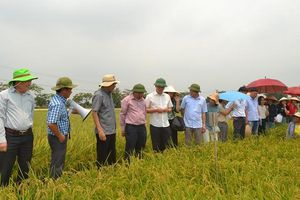 Đưa nhóm lúa Japonica vào sản xuất: Nâng giá trị cho gạo Hà Nội